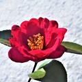 写真: 雪の朝のサザンカの花