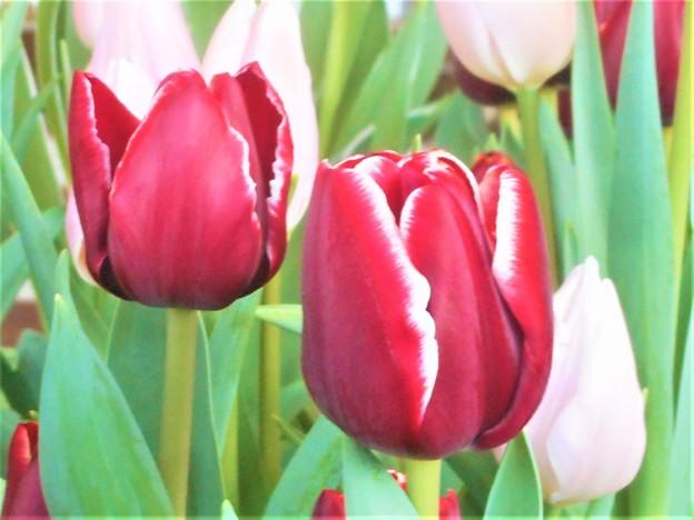 春の予感@立春のチューリップたち