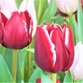 写真: 春の予感@立春のチューリップたち