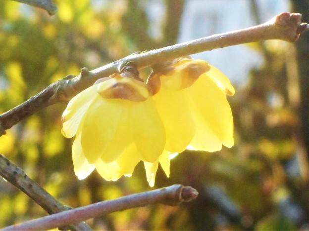 甘く香る蝋梅の花@瀬戸路・向島