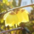 写真: 甘く香る蝋梅の花