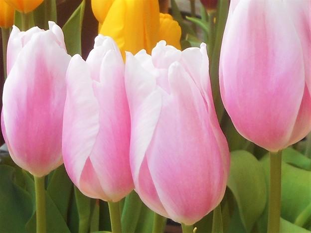 写真: 寒い中 ほのかに春めく チューリップたち
