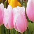 寒い中 ほのかに春めく チューリップたち