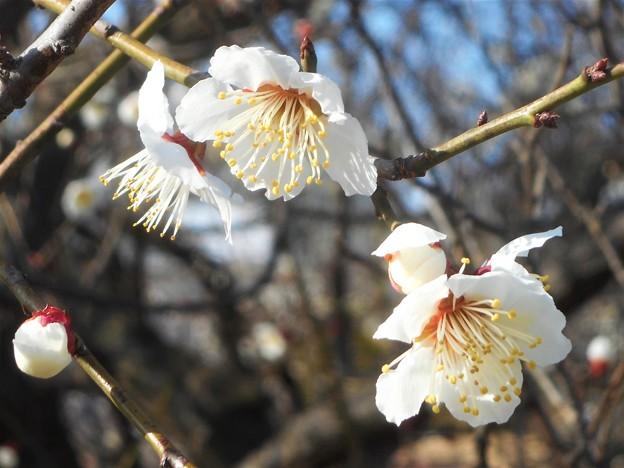 白梅やっと咲きました@ひな祭りイブの日