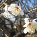 写真: 白梅やっと咲きました@ひな祭りイブの日