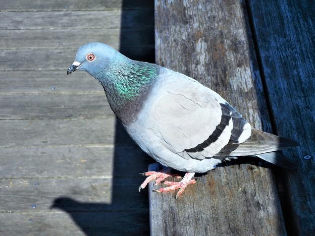 ウッドデッキのキュートな笑顔の鳩くん@駅前海岸通り