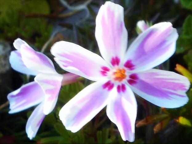 ポカポカ陽気に誘われて@芝桜が開花