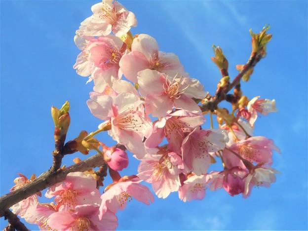 早咲き桜が満開@黒崎水路