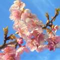写真: 早咲き桜が満開@黒崎水路