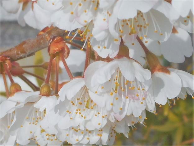 早咲き桜@満開