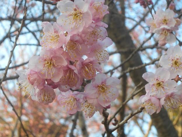 寒桜が咲き初めて@千光寺山