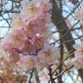 寒緋桜が咲き初めて@千光寺山