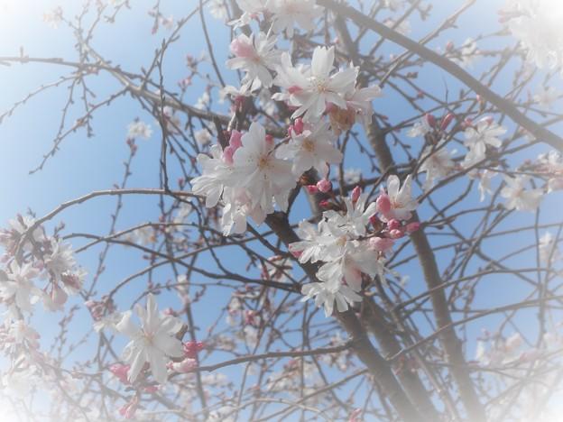 早咲きの桜がふわふわと‥‥
