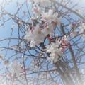 写真: 早咲きの桜がふわふわと‥‥