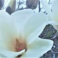 春めいて ハクモクレンの花
