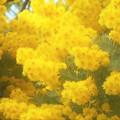 写真: 青空に ミモザの花