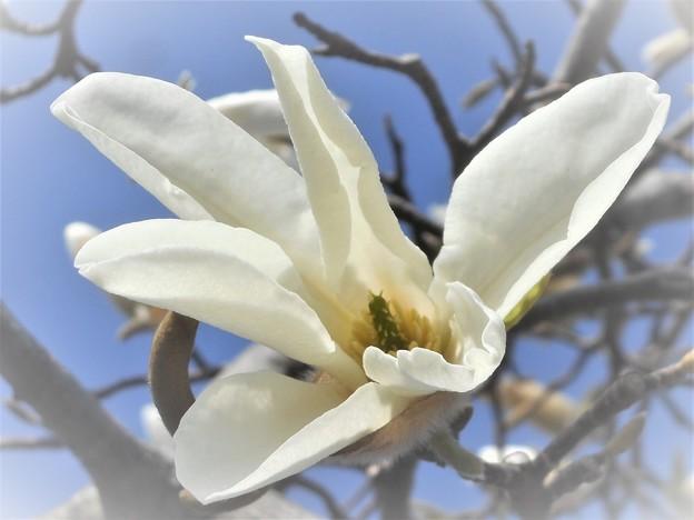 こぶし咲く@備後路の春(2)