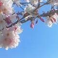 写真: 早咲き桜が五分咲き@瀬戸路