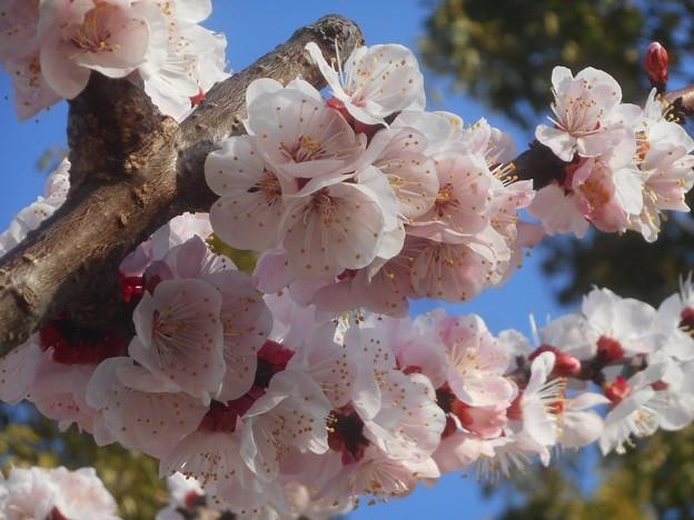 杏子(あんず)の花が満開@黒崎水路の並木道
