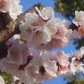 Photos: 杏子(あんず)の花が満開@黒崎水路の並木道