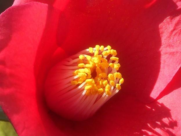 写真: 春の日差し@サザンカの花