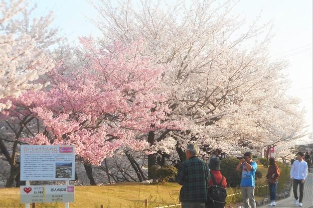 千光寺山は花盛り