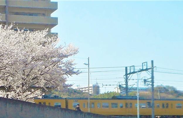 桜並木とお花見電車@JR山陽本線(在来線)