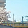 写真: 桜並木とお花見電車@JR山陽本線(在来線)