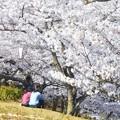 満開の桜に埋もれて@千光寺山