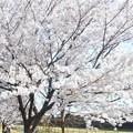 爛漫の春@黒崎水路の桜
