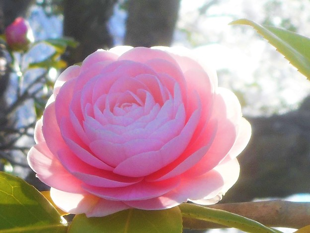 満開の桜(背景)と乙女(椿)@千光寺山・さつき亭