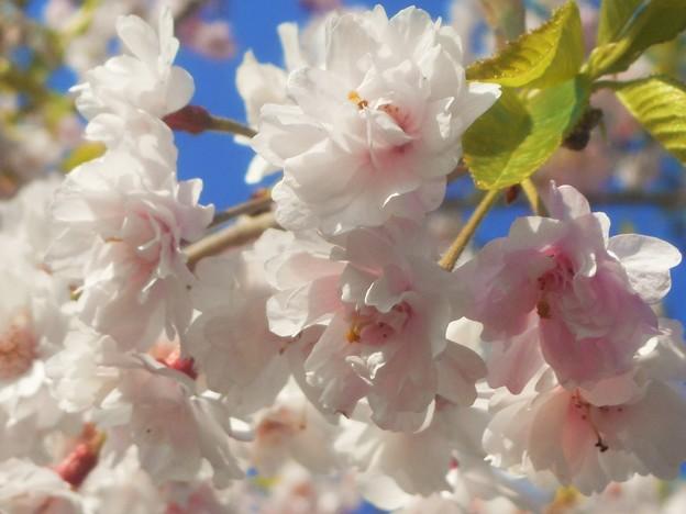 薄紅枝垂れ桜@少し葉桜