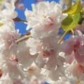 写真: 薄紅枝垂れ桜@少し葉桜
