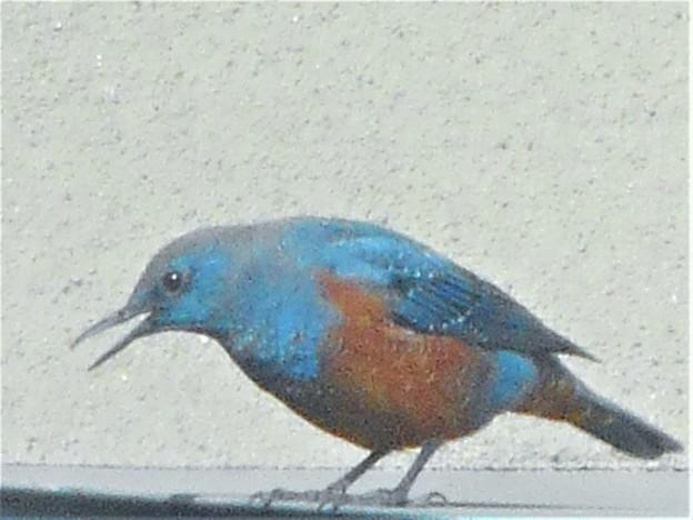 近所のヒサシの上で見かけた野鳥@イソヒヨドリ(♂)
