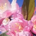 写真: 花海棠の花咲くころ