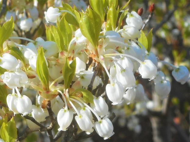 ドウダンツツジの花の咲くころ