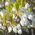 写真: ドウダンツツジの花の咲くころ