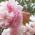 写真: もふもふと薄紅の八重桜@びんご運動公園・テニスコート周辺