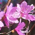 写真: ミツバツツジの季節到来