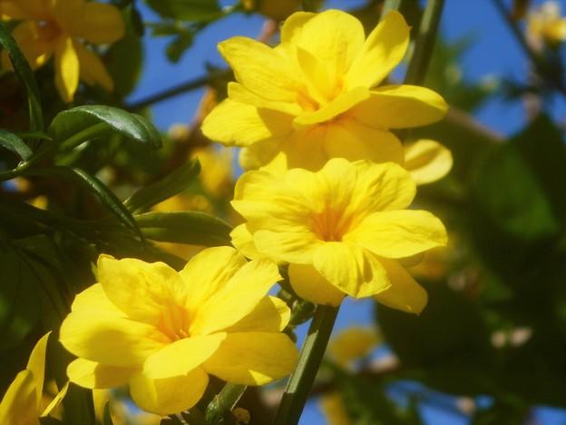 雲南黄梅の咲くころ