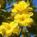 写真: 雲南黄梅の咲くころ