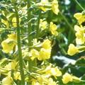 写真: ブロッコリの花が満開