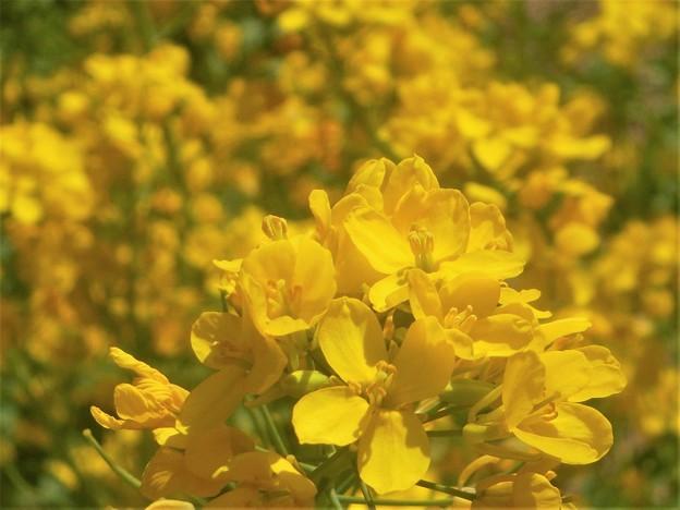 菜の花畑が花盛り