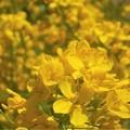 写真: 菜の花畑が花盛り