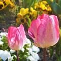 写真: お花畑のチューリップたち@びんご運動公園