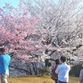 写真: パッと咲いた紅白の桜@千光寺山