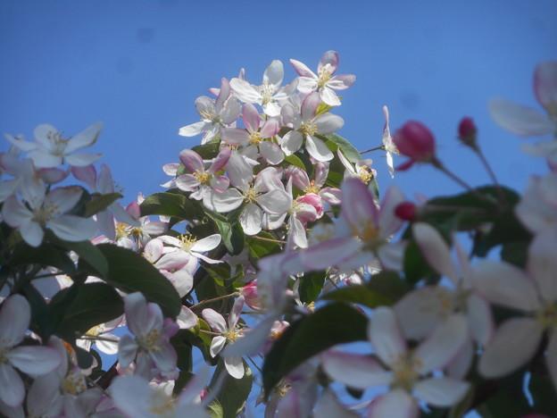 林檎(りんご)の花が見ごろを迎えて華やかに。