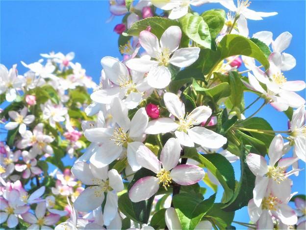 青空に白い花@林檎の花