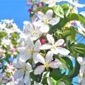 写真: 青空に白い花@林檎の花