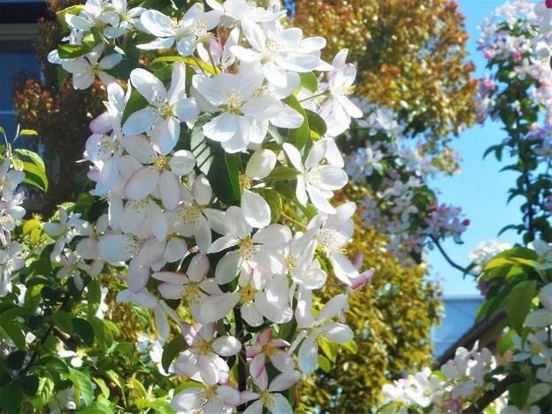 林檎(りんご)の花が満開@備後路